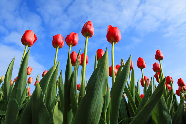 7 ways to tell your love with the meaning of tulip