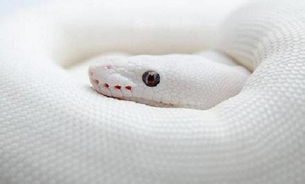 White python snake - photo#8