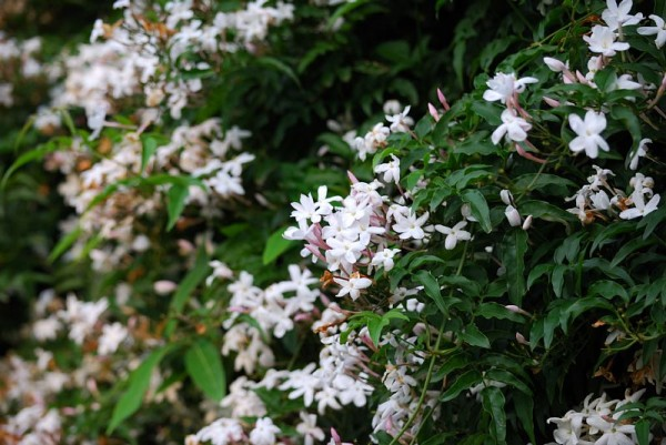7 arts to raise Jasminum polyanthum for a long time☆