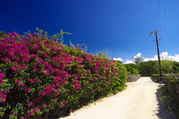7 selections matching for the bougainvillea flower
