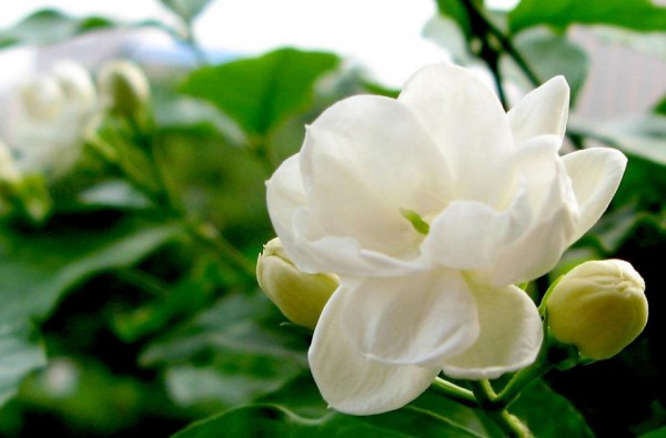 7 ways choosing presents, languages of Jasmine sambac