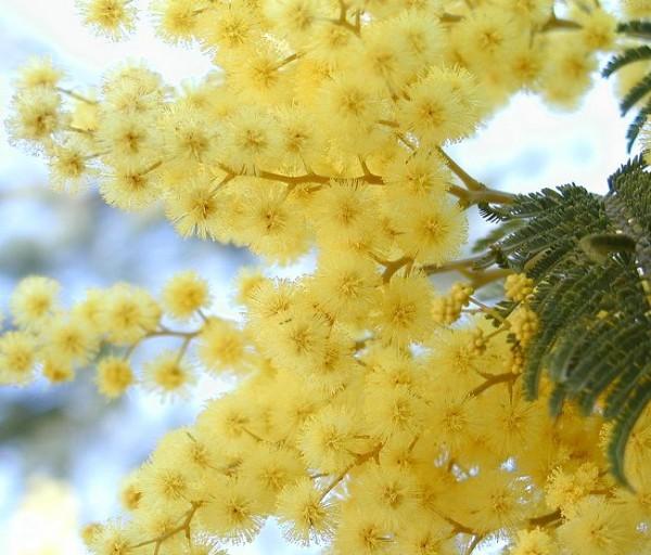 7tips How to Make Bloom Acacia Mimosa Next Year