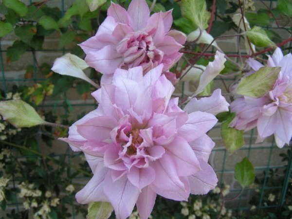 How to Improve Femininity with 5 Clemtis Floriographys