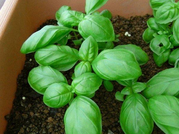 7 Tips on How to Grow Basil