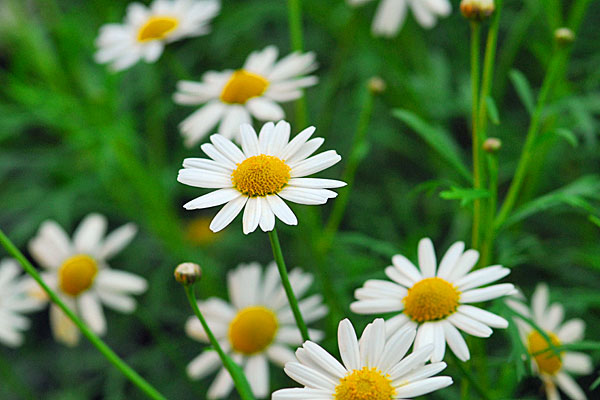 Marguerite Meanings and your Charms