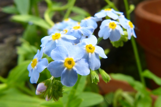 Medieval Germany tragety in meaning of forget-me-nots?
