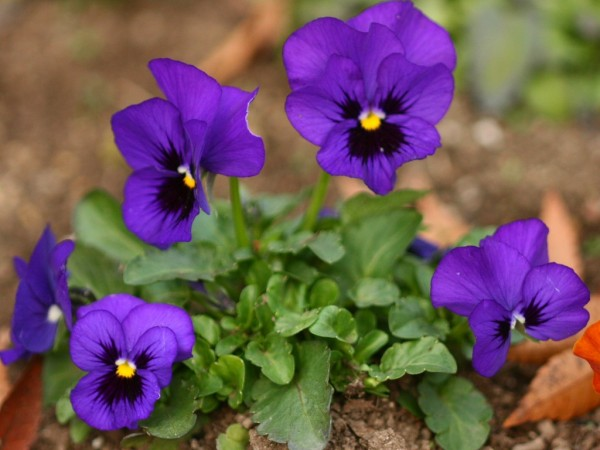 7 flower meaning of a pansy with an effect of healing