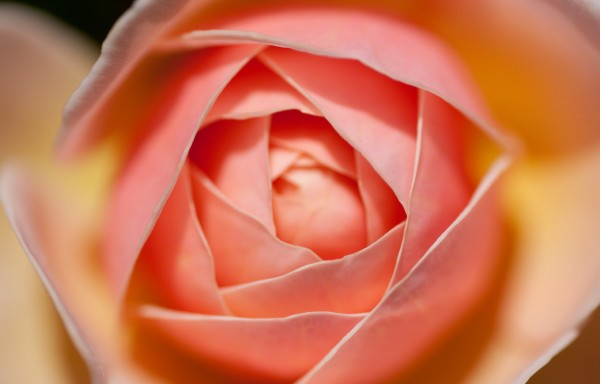 7 meanings of roses for good relationship with partner