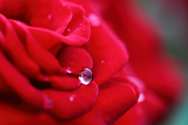 【Leading Way to Tell Love】Why Rose Meanings Bring Up