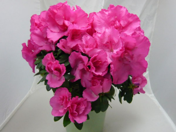 7 Ways to Get up Love Using Azalea Meanings