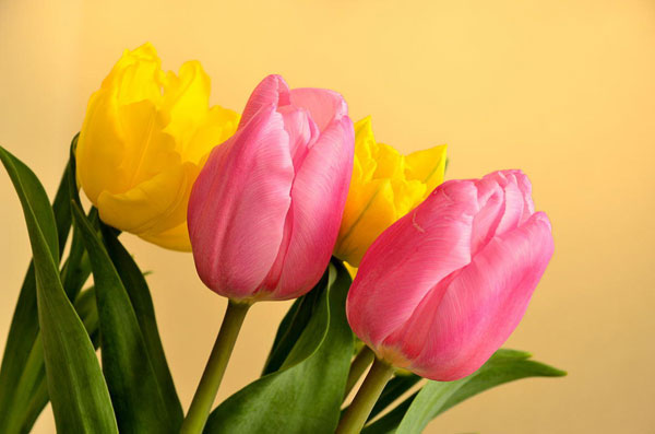 5 methods to make a smart confession with tulip meaning