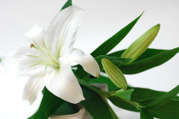 7 meanings of lily and the way how to give it as a gift