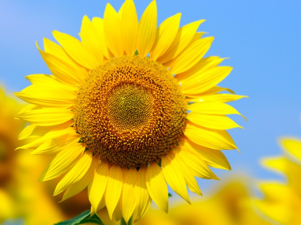 7 methods to move your partner with sunflower meaning