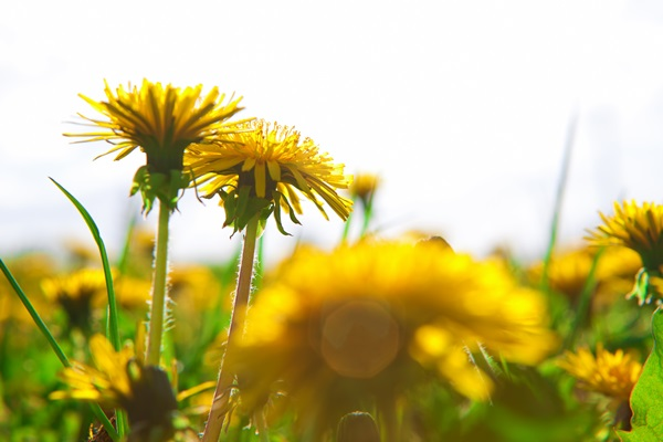 7 ways to send a message with the meaning of Dandelion