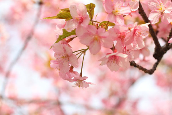 9 meanings of sakura to enjoy cherry blossom viewing