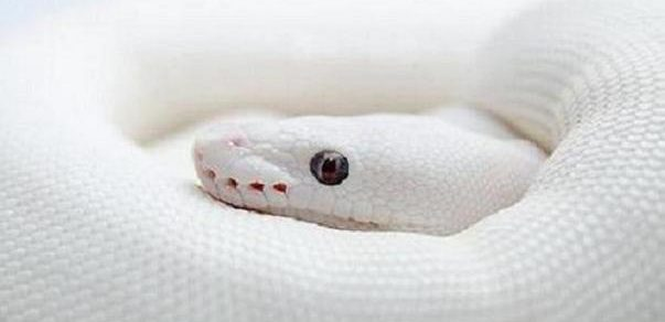 Dream of white snake is lucky! 7 dreams to win lotto