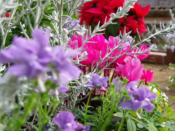 7 easy points of beginners raising winter flowers