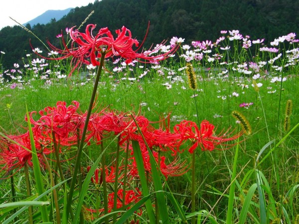 Recommended 10 autumn flowers to raise for beginners☆
