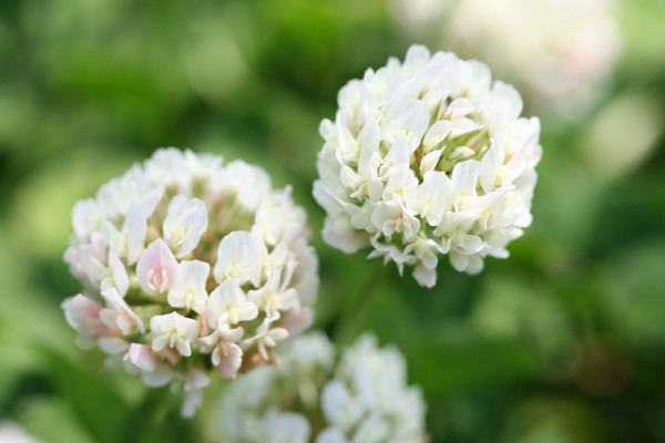 5 reasons why language of white clovers is a bit scary