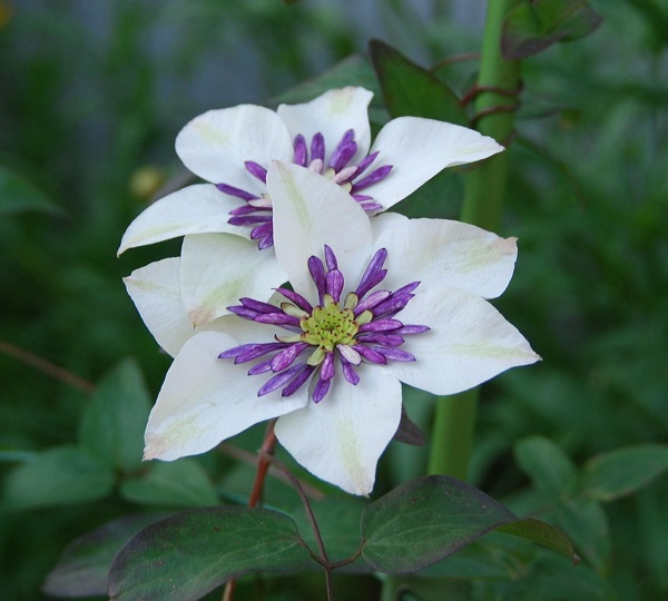 5ways How to Welcome Guests by Clematis's Floral Language