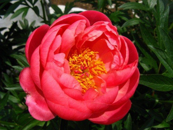 7 key points about the peony flower and how to grow it