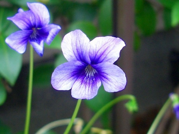 7 methods to present a gift using the violet flower