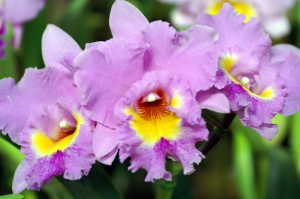 7 reasons why cattleya is good to a decoration of dress