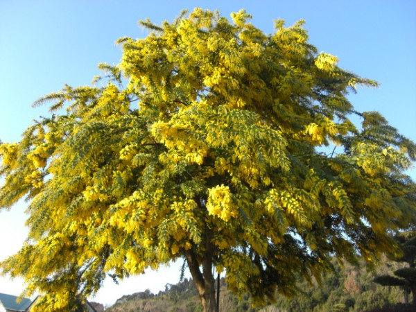 7steps How to Bloom Beautiful Acacia Mimosa