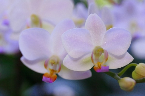 7ways Giving a Gift with Phalaenopsis Floral Language