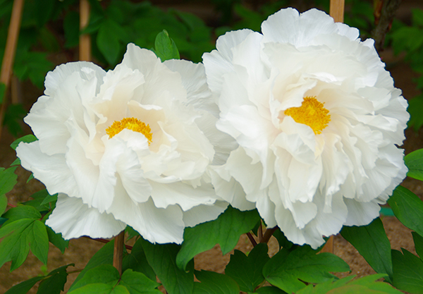 As the meaning of peonies! 7 flowers of cool meanings