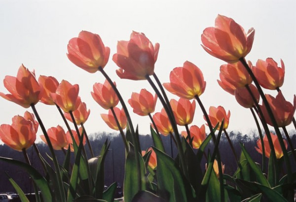 Fantastic meanings☆7 legends of tulips about love