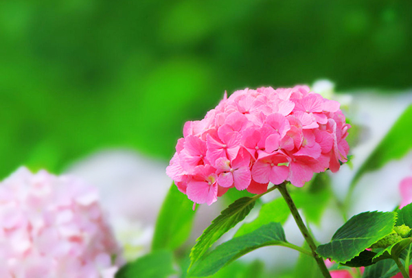 Hydrangea's 7 Positive and Negative Meanings