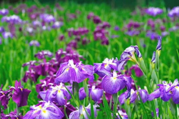 Iris meanings for our good life.
