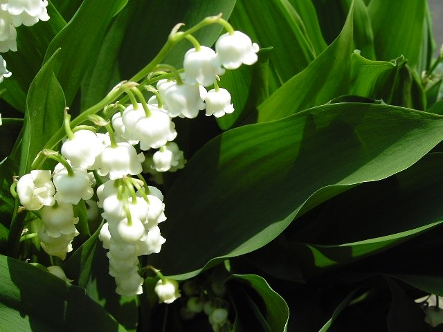 Lovely Lily of the Valley Meanings