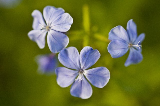 Meanings of forget-me-nots move lovers' hearts as song