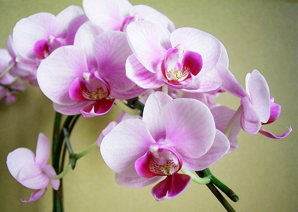 "Orchid meaning is ""happiness flies to you!"" Elegant appeals"