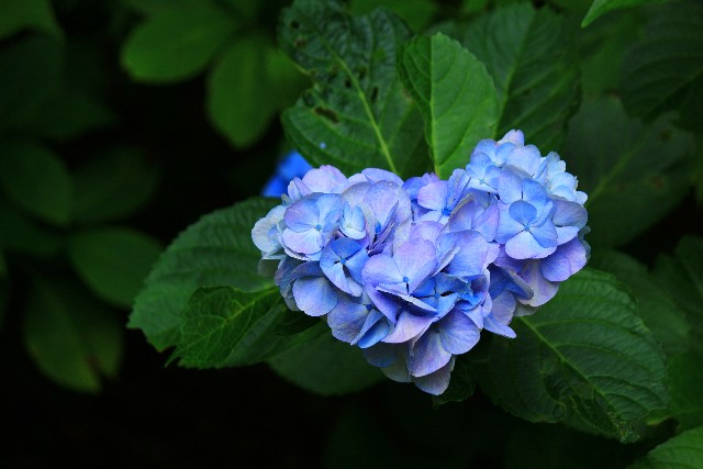 The 7 Meanings You should know about Hydrangea