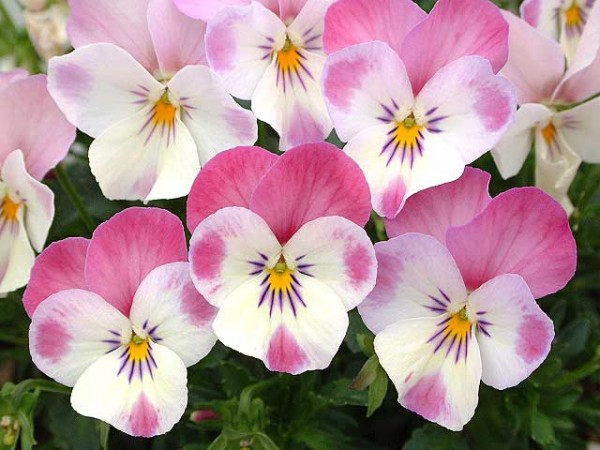 The seven ways to tell your love with viola meaning