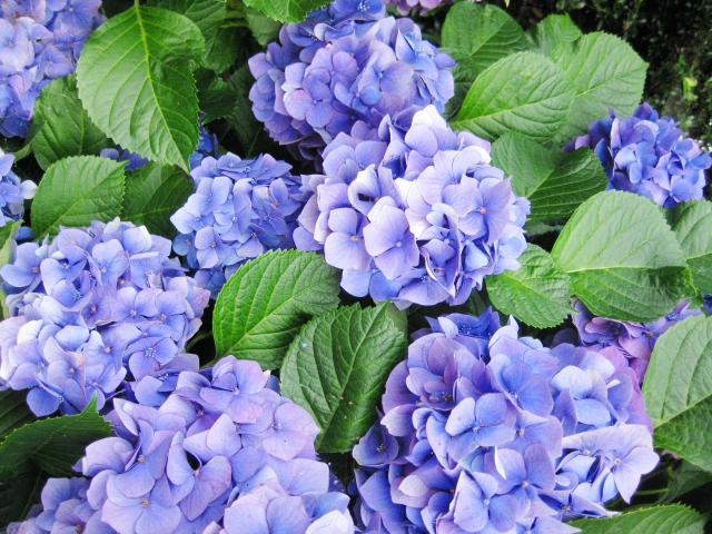Hydrangea Meanings. Choose the Right Color for a Gift