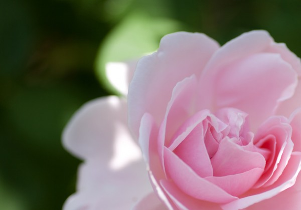 love letter of rose meaningsways to tell your feeling