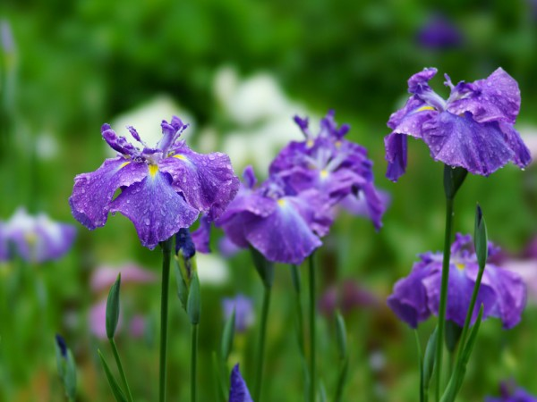 7 reason why meaning of Iris matches long-distance love