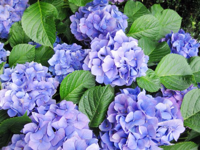 A Fickle Flower? Hydrangea Real Meanings